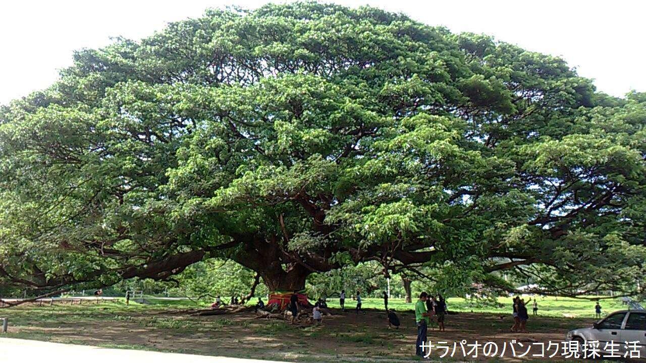 この木何の木のCMに出てくるような巨木 in カンチャナブリ