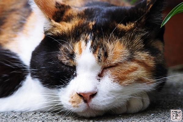 眠い三毛猫さん3