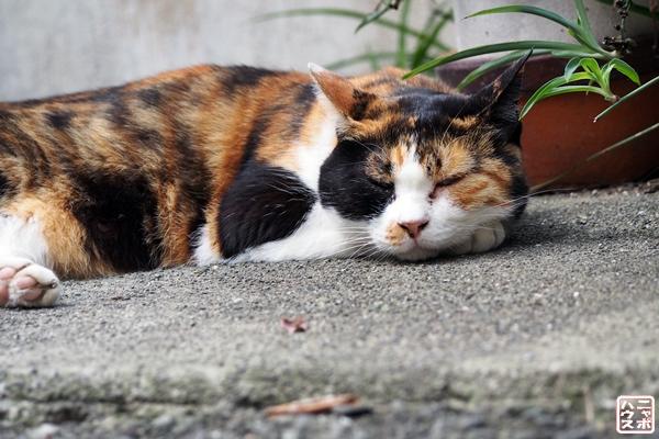 眠い三毛猫さん2