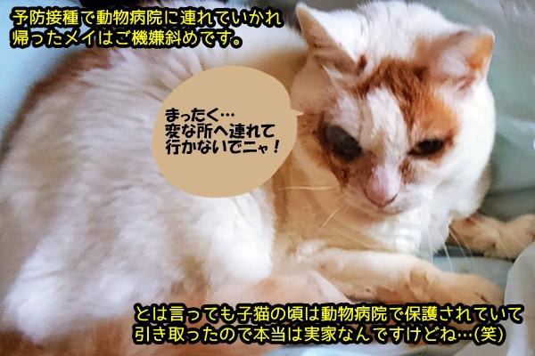メイ 猫風邪 失明