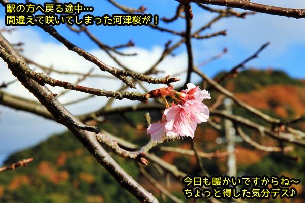 ニャポ旅28 その2 12月の河津桜
