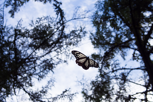 アサギマダラ飛翔