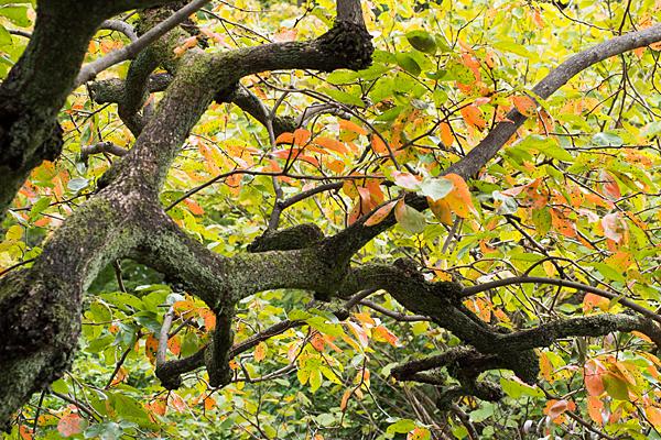 柿の木の紅葉