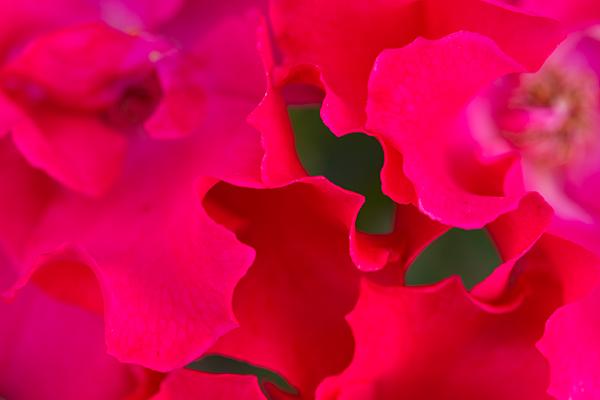 農ピンクバラ