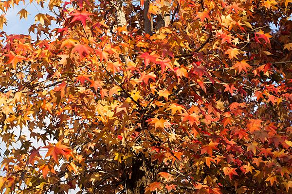 紅葉したアメリカ楓