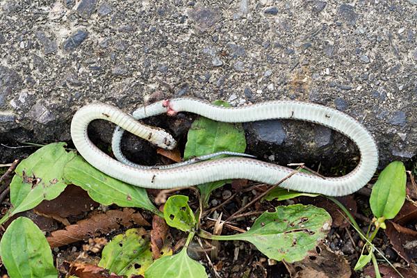 ひかれたヘビ