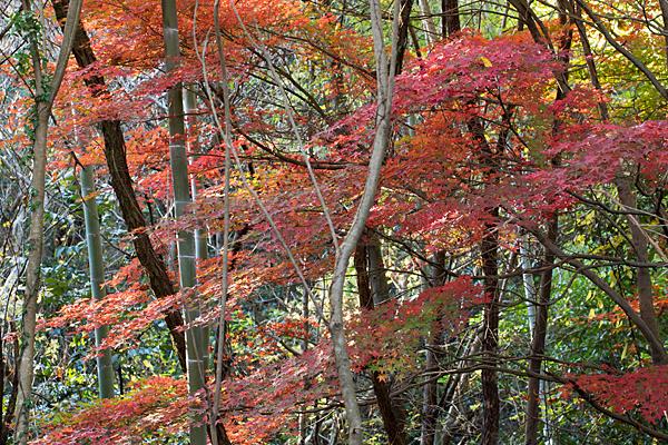 竹藪とモミジの紅葉