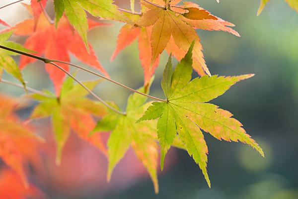 染まり行くモミジの葉