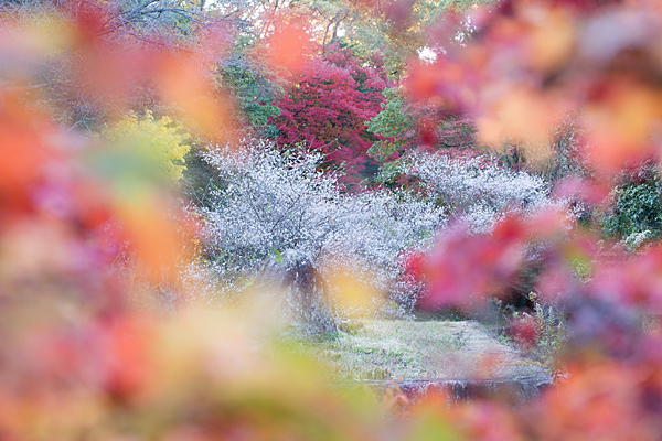 四季桜と楓の赤