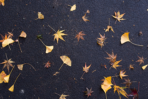 モミジとイチョウの落ち葉