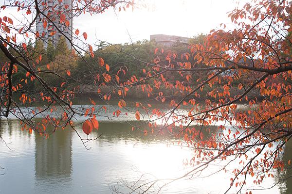 杁ヶ池とソメイヨシノの紅葉