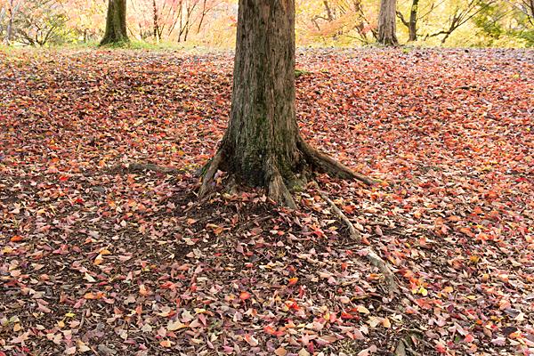 カエデの落ち葉絨毯