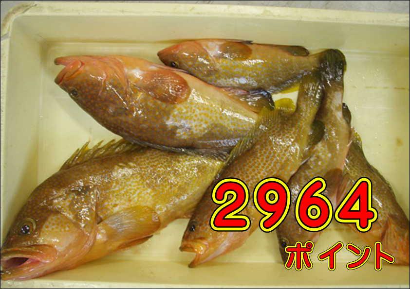 11/25 中尾 様 キジハタ 魚買い取り! (大塔店)