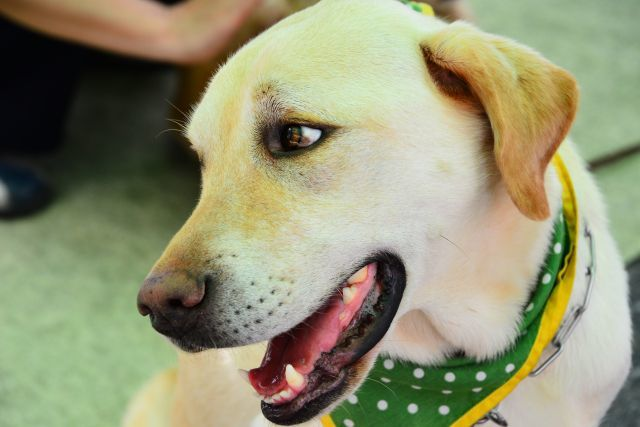 盲導犬に命令するとき、何故英語を使う?