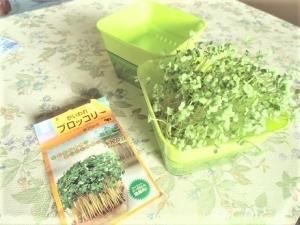 ブロッコリースプラウト、栽培キット