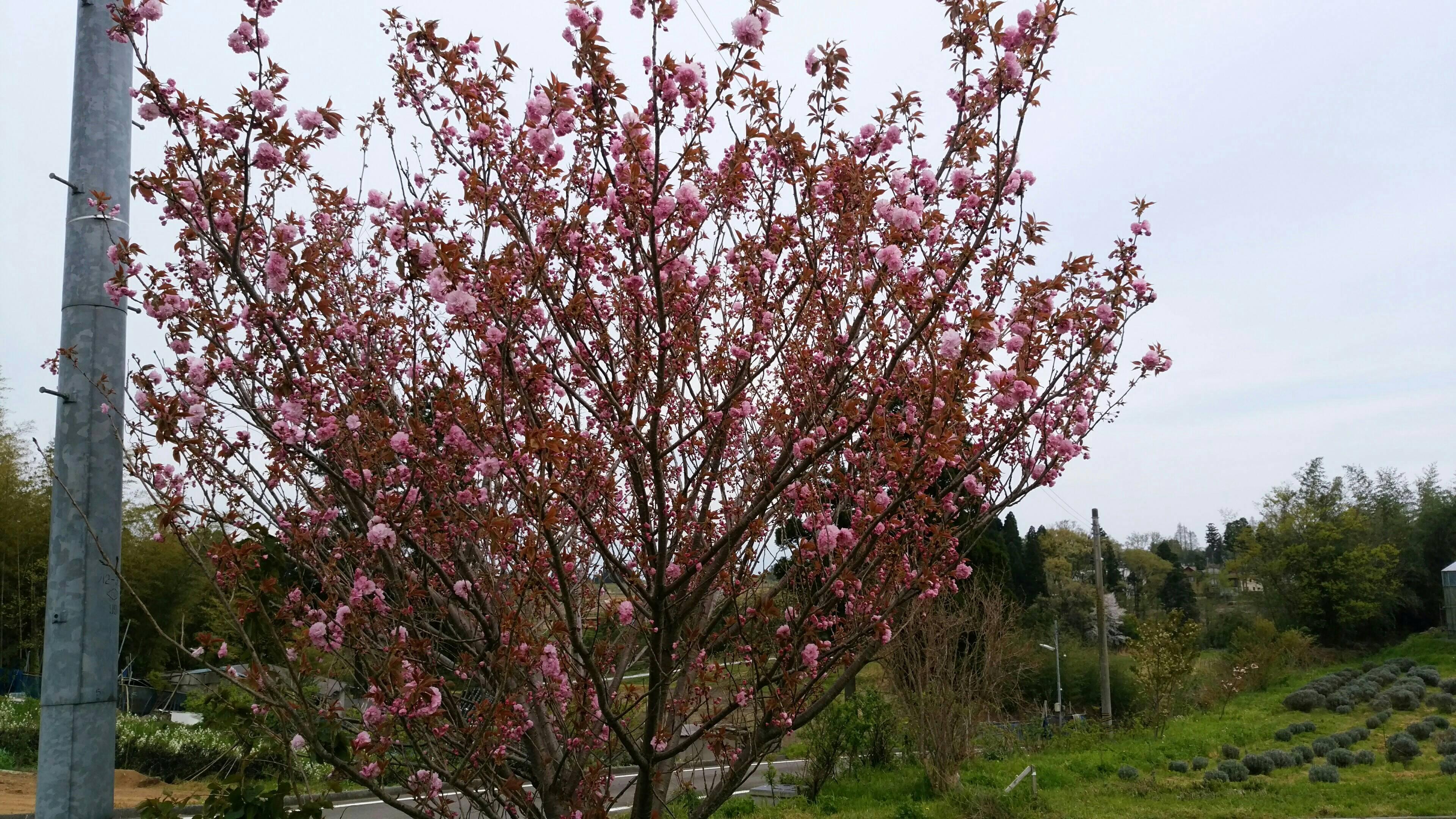 桜・カンザン