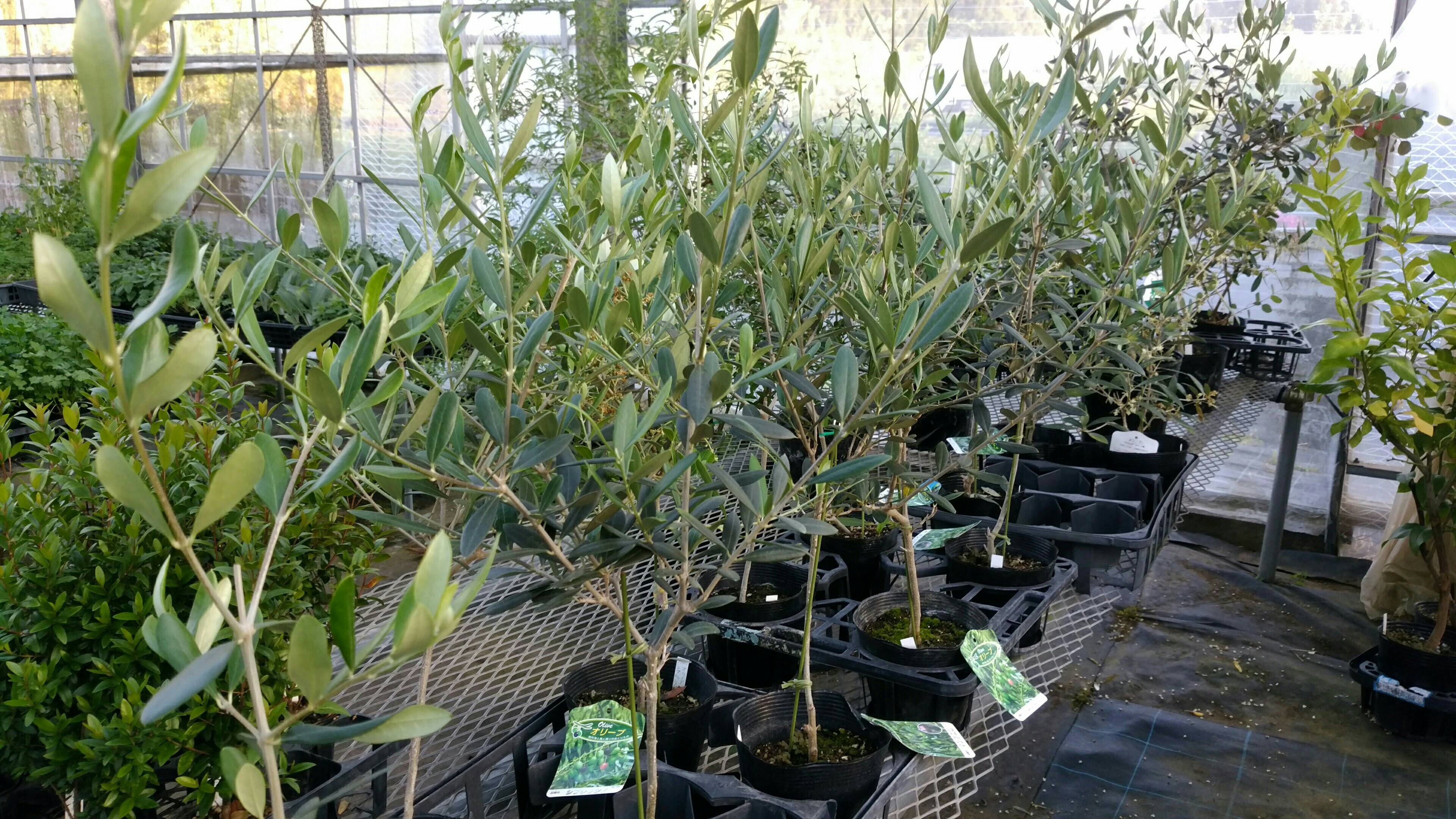 オリーブの木、チェリーセージ