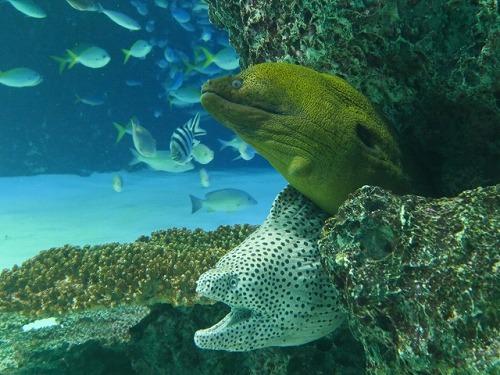 ウツボ 海のギャング2