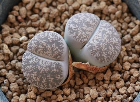 リトープス・C359グレー紫薫