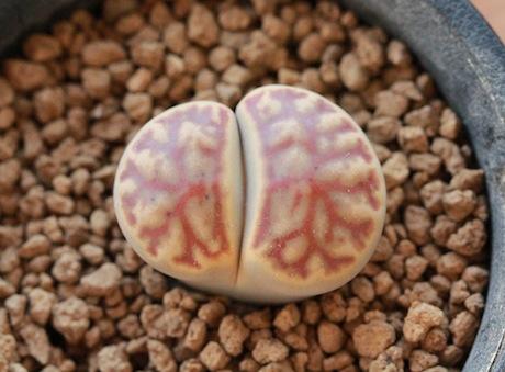 リトープス・C40ザクロ玉