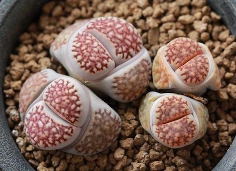 リトープス・EEF57褐寿麗玉