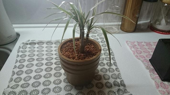 観葉植物②旧鉢